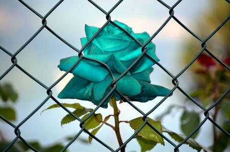 imprisoned: Rose Imprisoned Light Blue Stock Photo