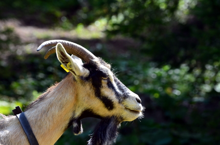 smiling goat: Little Curious Goat on a farm Stock Photo