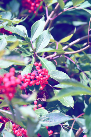 aucuparia: Rowan berries, Sorbus aucuparia