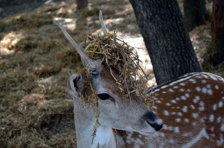 whitetailed: Close up of a white-tailed deer fawn