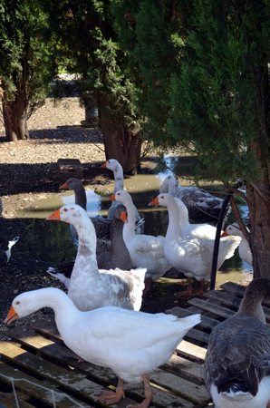 pecker: lock of free range geese on meadow