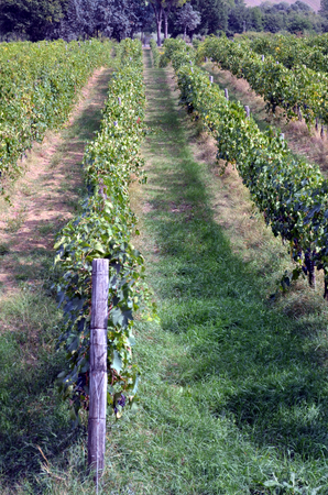 compostion: Red wine grape hangs on the grapevine on vertical compostion