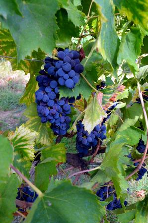 pinot grigio: Red wine grape hangs on the grapevine Stock Photo