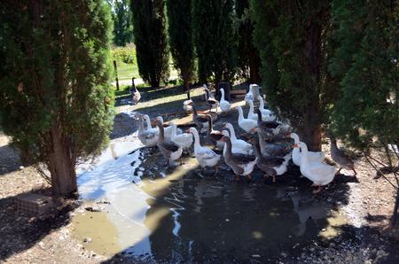free range: lock of free range geese on meadow