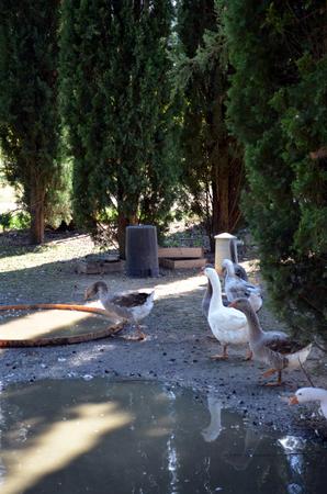 anseriformes: lock of free range geese on meadow