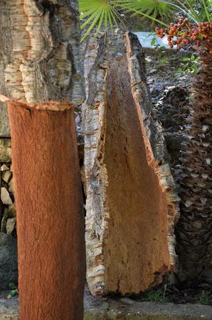 roble arbol: corteza reci�n cosechadas de alcornoque - Quercus suber - expuesta por la cosecha de corcho hacha de un harverster corcho en Cerde�a