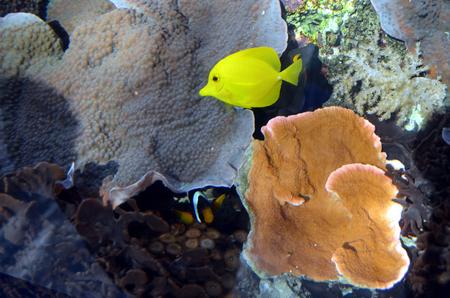 yellow tang: Underwater shot of tropical yellow fish