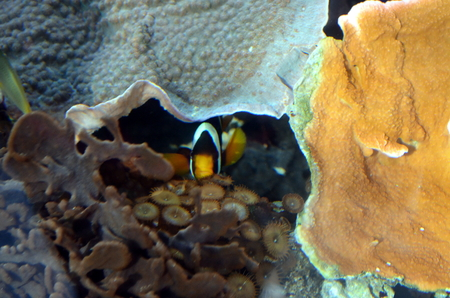 clown fish: A Clown Fish taken underwater in a bay of marine life with the seaweed as backdrop