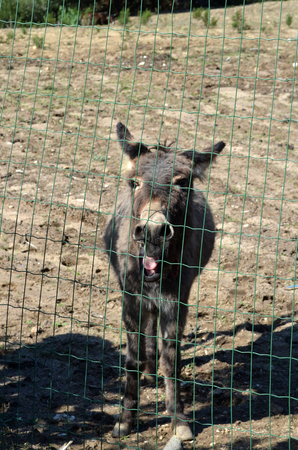 wire mesh: Donkey behind a wire mesh in Sardinia