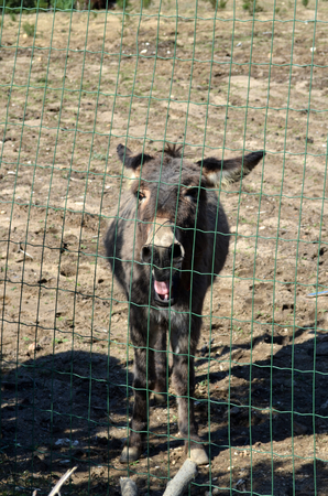 wire mesh: Donkey behind a wire mesh in Sardinia Italy