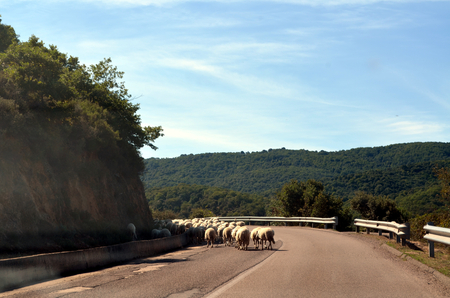 Running sheeps on the road in Sardinia