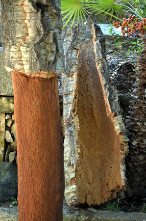Freshly harvested bark of cork tree - quercus suber - exposed by a cork harwers ax, cork harvest, in Sardinia Italy