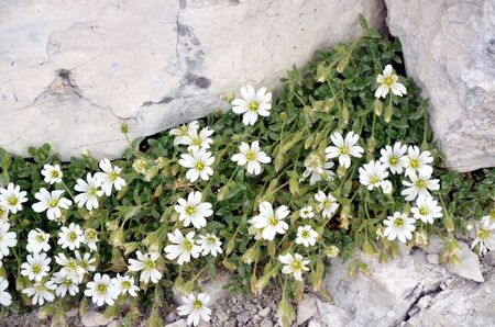 white flowers growing among the rocks
