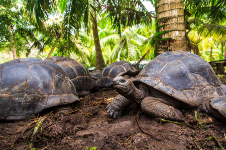 species of creeper: Three giant turtles under the palms Stock Photo