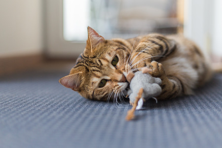 Beautiful bengal cat playing with mouse toy in the house