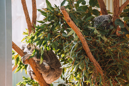 Cute koala playing on the tree in Australia.