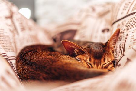 January 10, 2018. Riga, Latvia. Abyssinian cat sleeping in a pillow. Reklamní fotografie
