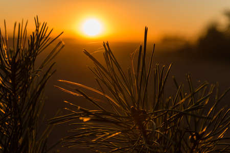 piny: Pine branch illuminated by the sunbeams of sunset Stock Photo