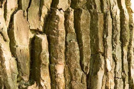 tilia: Tree bark texture. Old linden tree texture background pattern. Tilia platyphyllos