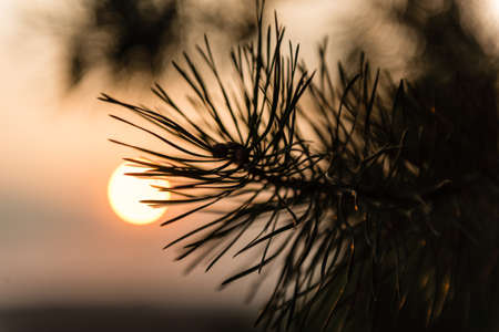 piny: Pine branch illuminated by the rays of sunset