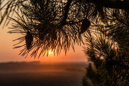 piny: Pine branch with cones illuminated by the rays of sunset Stock Photo