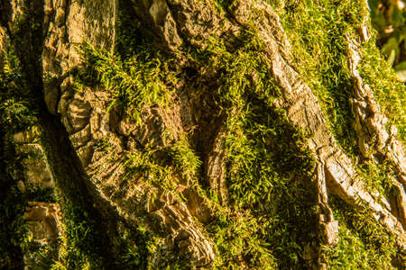 tilia: Tree bark texture covered with green moss. Old linden tree texture background pattern. Tilia platyphyllos