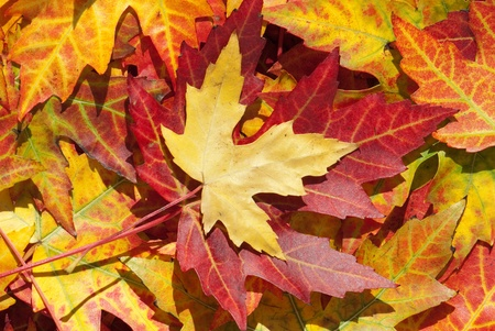 acer platanoides: Maple leaves in autumn, Acer platanoides Stock Photo