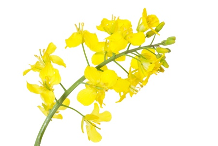 anther: Flower of a rapeseed, Brassica napus, isolated Stock Photo