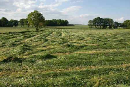 haymaking: Mown grass in haymaking season