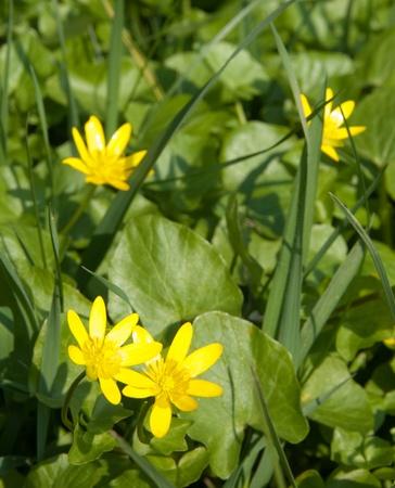 scurvy: Lesser celandine in spring, Ranunculus ficaria Stock Photo