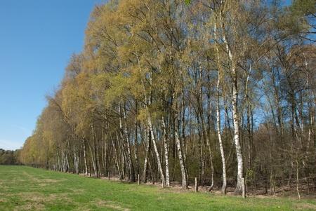 betula pendula: Riga di argento fruste, Betula pendula, lungo un prato in primavera