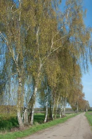 betula pendula: Riga di argento fruste, Betula pendula, lungo una corsia di paese in primavera