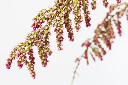 Branchlet mit Blumen von Französisch Tamarisk, Tamarix gallica, isoliert Lizenzfreie Bilder - 9886465