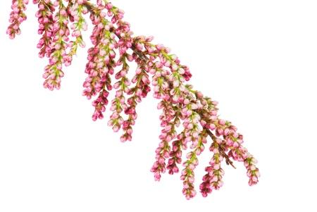Branchlet mit Blumen von einer französischen Tamarisken, Französische Tamariske, isoliert Lizenzfreie Bilder - 9886453