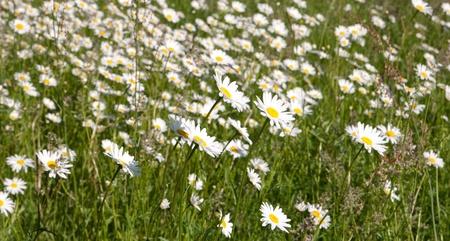 pedicel: Meadow with marguerites in spring, Leucanthemum vulgare