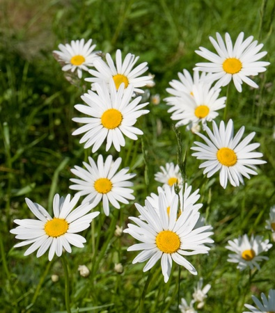 marguerite: Meadow with marguerites in spring, Leucanthemum vulgare