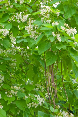 catalpa: Flowers and pods of a Cigar tree in spring, Catalpa speciosa Stock Photo