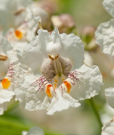 catalpa: Flower of a Cigar tree in summer, Catalpa speciosa Stock Photo