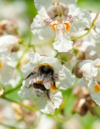 catalpa: Bumblebee, Bombus, in a flower of a Cigar tree, Catalpa speciosa Stock Photo