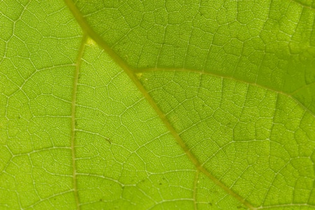 catalpa: Leaf under-surface of a Cigar tree, Catalpa speciosa