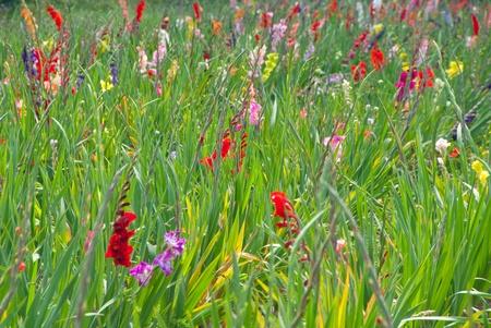 Flowering gladioluses in a plantation, Gladiolus photo