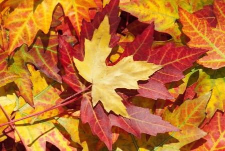 Feuilles d'érable à l'automne, Acer platanoides Banque d'images - 9886426