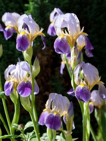 Blume des deutschen Iris im Frühjahr, Iris germanica Standard-Bild - 9886323