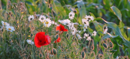 german chamomile: Meadow with flowering corn poppy and German chamomile  (Papaver rhoeas, Matricaria recutita) Stock Photo