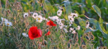 matricaria recutita: Prato con fioritura di mais papavero e camomilla tedesca (Papaver rhoeas, Matricaria recutita)