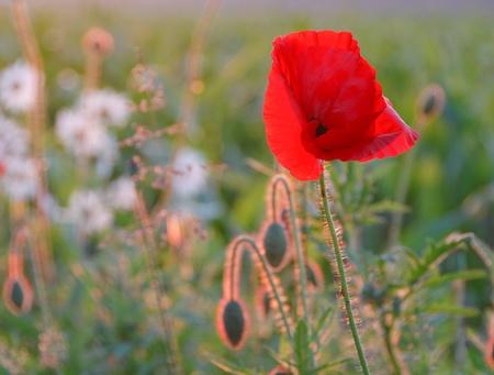 matricaria recutita: Prato con fioritura Papaver rhoeas e camomilla tedesco (Papaver rhoeas, Matricaria recutita)