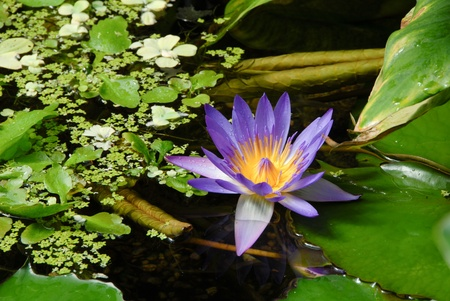 egyptian lily: Blue Egyptian water lily in blossom, Nymphaea Caerulea Stock Photo