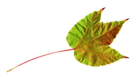 Herbst Blatt des japanischen Schlingpflanze, Oberseite, Parthenocissus tricuspidata Lizenzfreie Bilder - 9886431