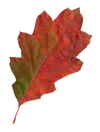 Autumn leaves of a red oak, top surface, quercus rubra photo