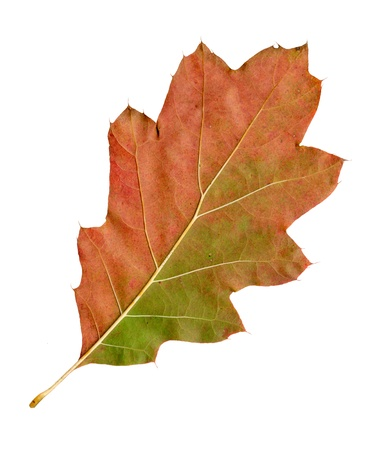 Autumn leaves of a red oak, under-surface, quercus rubra photo
